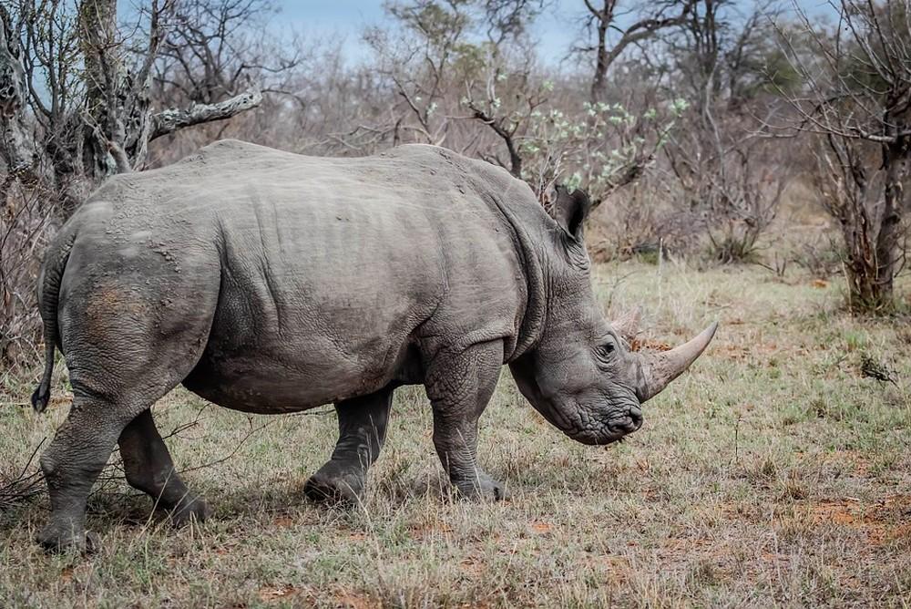 Носорог перевернул автомобиль