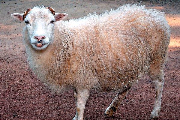 Домашняя овца