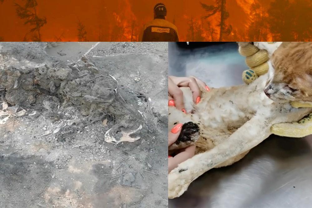 Заживо сгоревшие животные в поселке Бясь-Кюёль