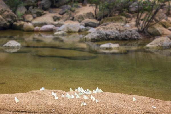 Колония бабочек у синей реки. Фоннья. Вьетнам.