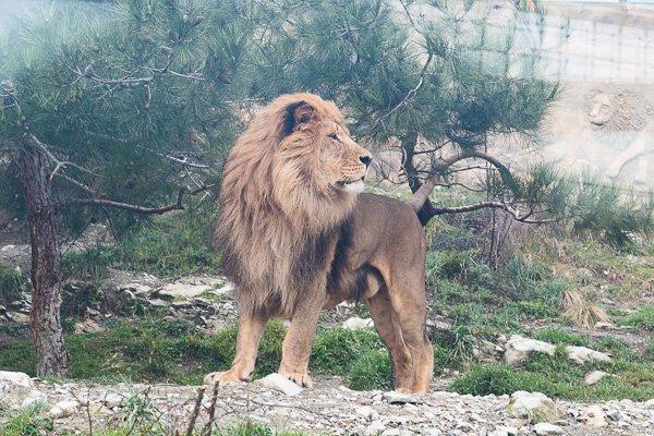 Лев - царь зверей в геленджикском «Сафари-парке»