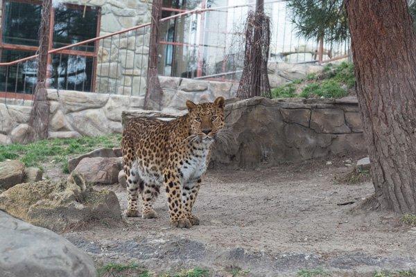 Дальневосточный леопард - красавец!