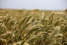 В Минсельхоз: мы просто заменим Турцию для российского экспорта зерна.