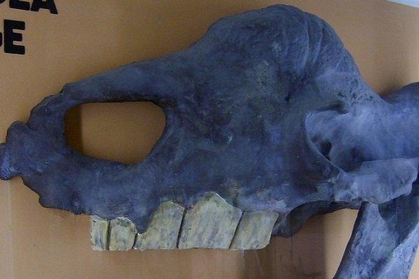 Череп Elasmotherium sibiricum на выставек в Музее естественной истории Берлина