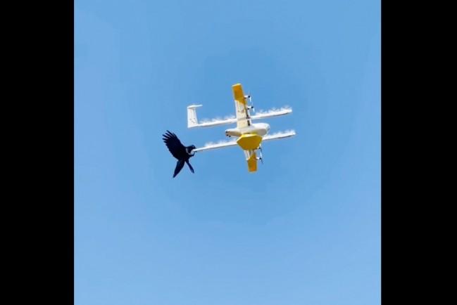 В Австралии птицы вышли на тропу войны против дронов