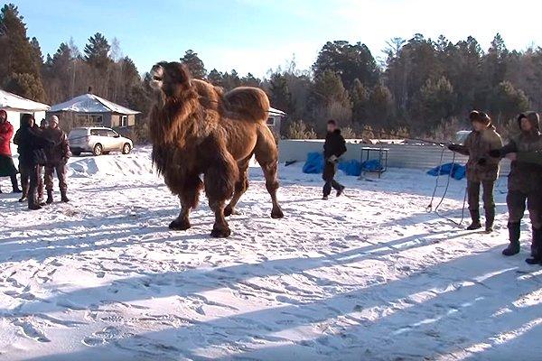Ритуал по сожжению верблюдов байкальскими шаманами