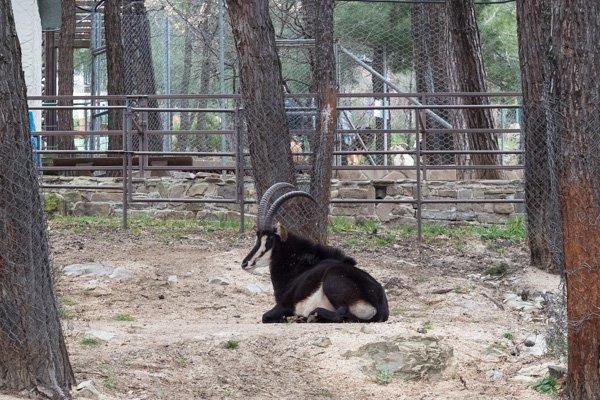 Черная антилопа в «Сафари-парке» в Геленджике
