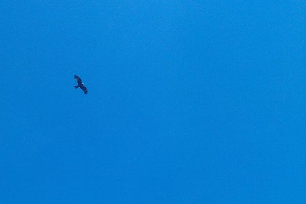 Птица летящая в небе Барнаула.