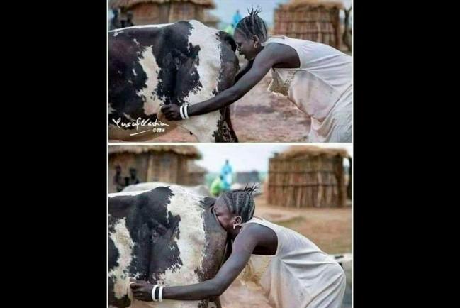 Продувка коров во влагалище или анус