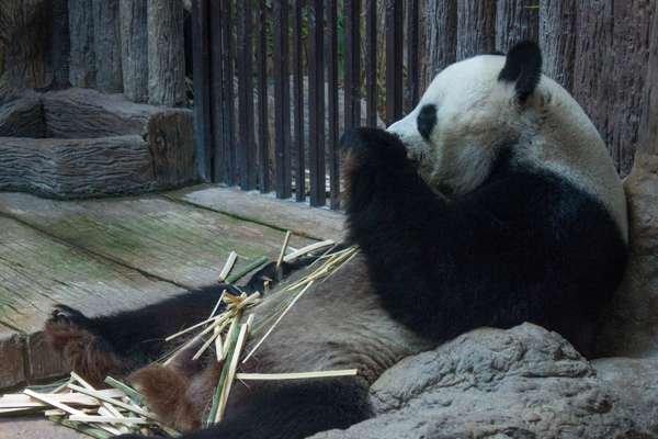 Панда в зоопарке Чианг Мая.