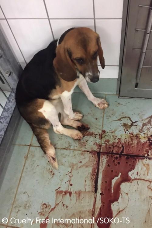 Собака породы бигль сидит в лужи крови во время ужасного эксперимента