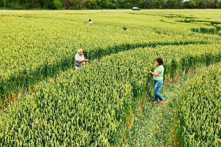 Исследователи проводят замеры кругов на пшеничных полях