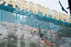 Сафари-парк в Геленджике. Львица отдыхает.