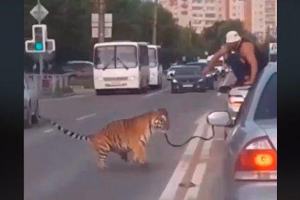 Тигр в Иваново