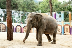 Слониха Чани.