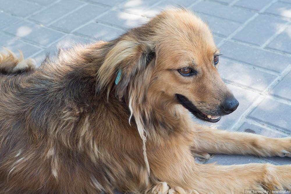 Стерилизованный пес с биркой в ухе в Евпатории