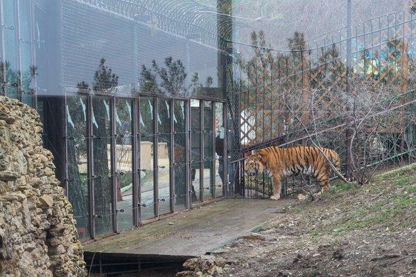 Тигр, который кинулся на подростков в вольере