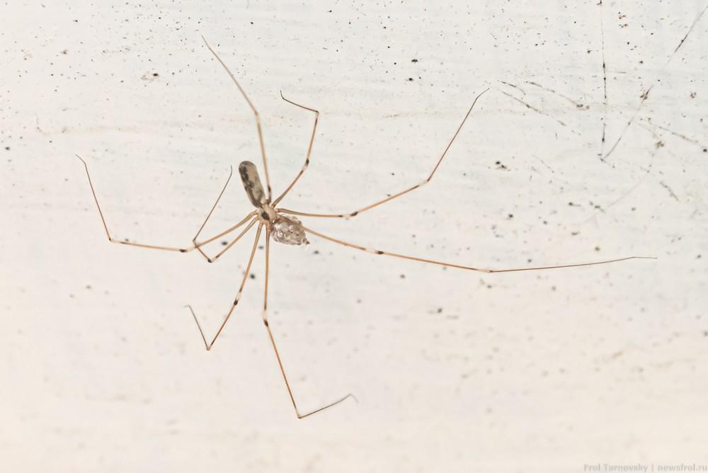 Длинноногий паук фолькус фаланговидный со своим потомством