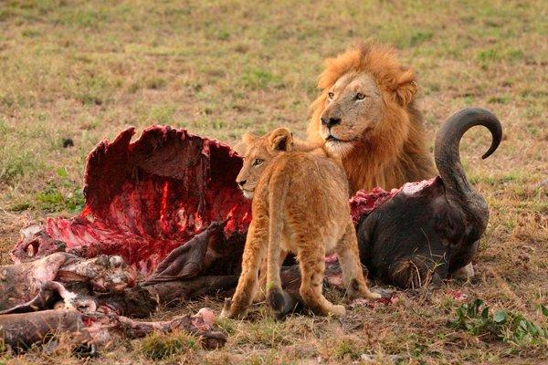Львы за обедом