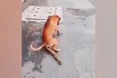 Пёс-попрашайка