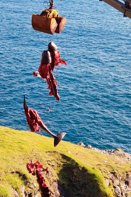 Фареры. Останки гриндов выбрасывают в море
