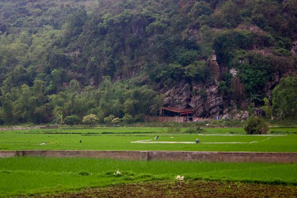 Остров Cat Ba. Люди работают на рисовом поле. Пейзаж.