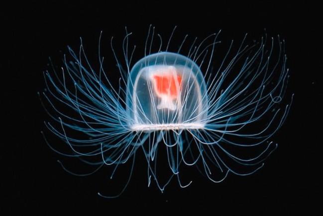 Медуза Turritopsis Nutricula