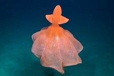 Глубоководный осьминог