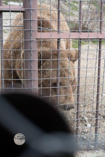 Бурый медведь возле кормушки в геленджикском «Сафари-парке»