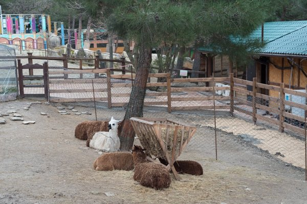 Гуанако отдыхают под деревом в парке Геленджика