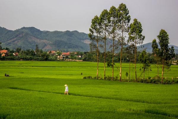 Рисовые поля в окрестностях деревни Фоннья. Вьетнам.