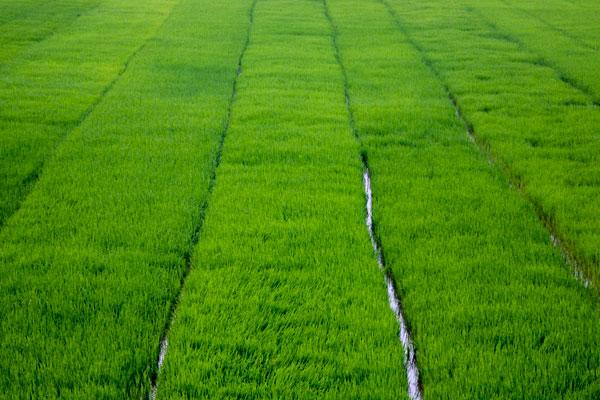 Рисовое поле в деревне Фоннья. Вьетнам.