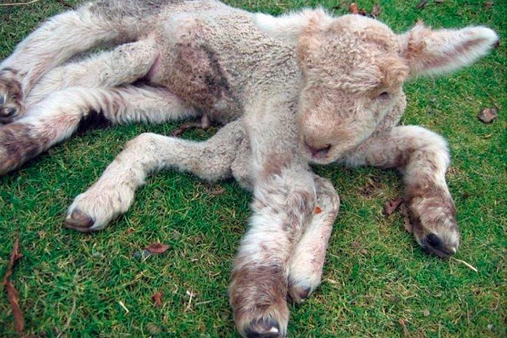 Ягнёнок у которого 8 ног, родился в зоне отчуждения