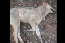 В Борисоглебске мужчина задушил голыми руками бешеную волчицу