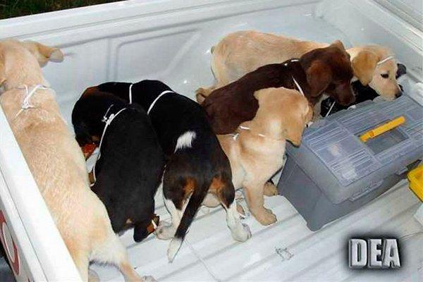 Обнаруженные на ферме щенки, готовые к перевозке наркотиков