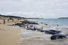 Черные дельфины