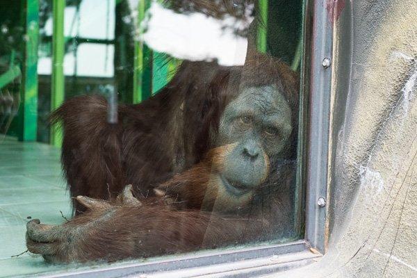 Орангутанг геленджикском «Сафари-парке»