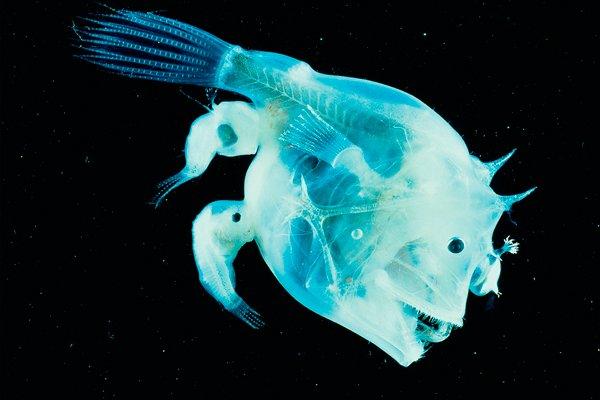 Самка рыбы удильщикаCeratioidei с присосавшимися навсегда самцами