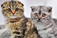 Кошки могут заражаться коронавирусом