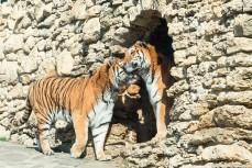 Тигры в геленджикском сафари-парке
