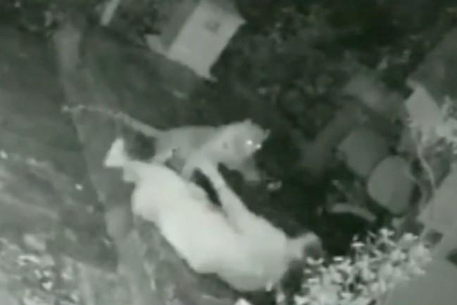 В Индии старушка отбилась от напавшего леопарда