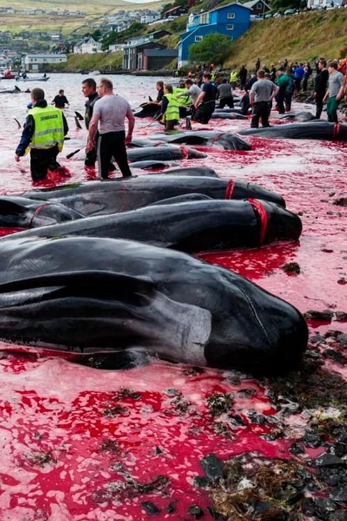 Фарерцы убивают дельфинов