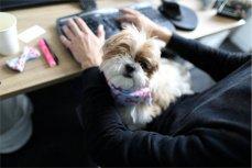 Собака на рабочем месте сотрудника GumGum.