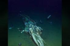 Останки усатого кита обгладывают морские падальщики