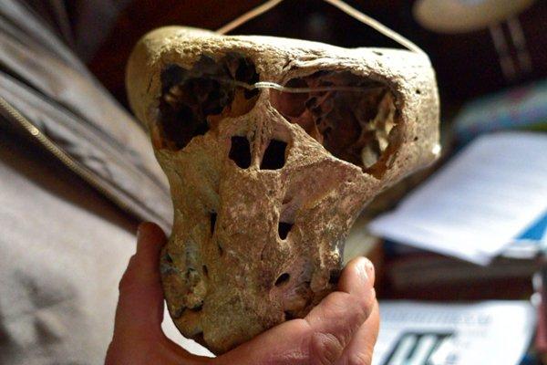 Сильно деформированный череп неопознанного существа