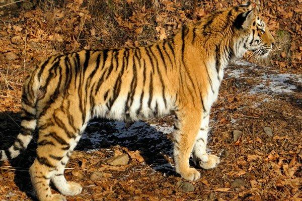 Тигрица Золушка