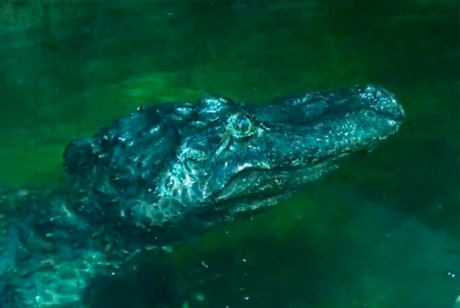 84-летний миссисипский аллигатор