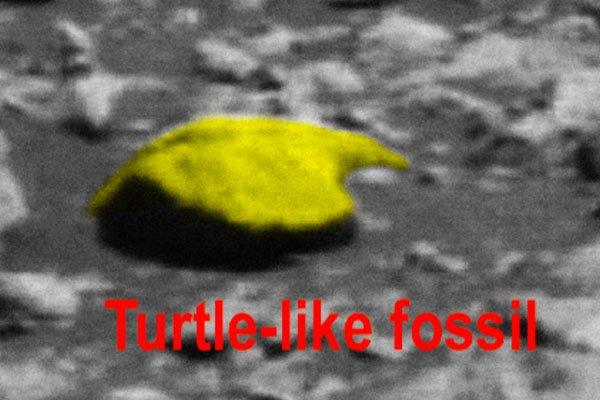 Фотография окаменелости похожей на панцирь черепахи