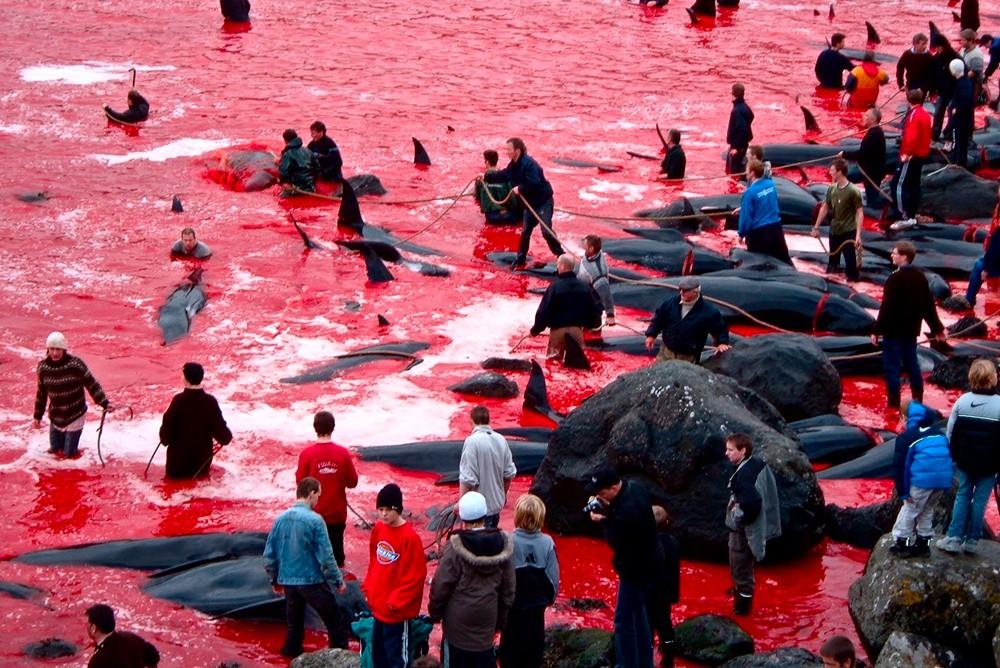 Убийство дельфинов гриндов на Фарерских островах