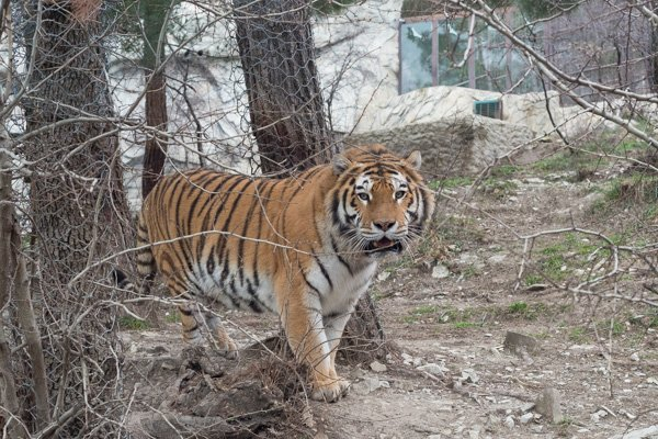 Тигр в геленджикском «Сафари-парке»